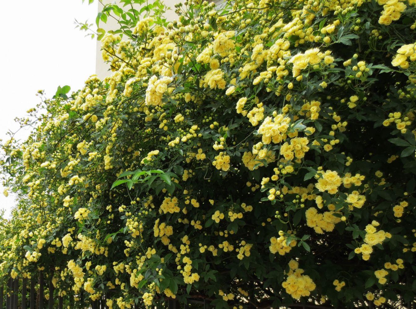 Rose Rampicanti Senza Spine 2 talee di roselline antiche